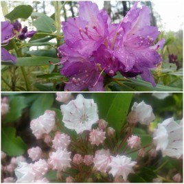 Happy to welcome these beautiful rhododendron and mountain laurel flowers to The Trail. At times there are so many it feels like walking through a garden.