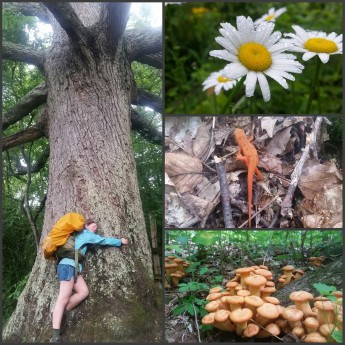 Left is the Keffer Oak, the largest tree in the Southern Appalachians