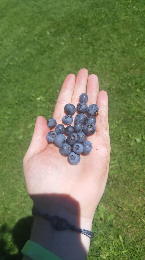 Pick your own blueberries at the cookie lady's house. These came from the same bushes as the blueberries from the morning's pancakes carried by a forward thinking SOBO.