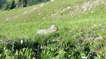 Marmots make a sound like an emergency whistle.